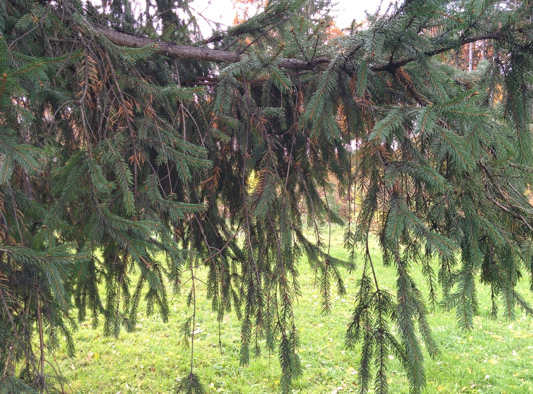Norway spruce forms forests of the northern hemisphere 13